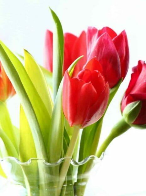 tulipanes en el salvador